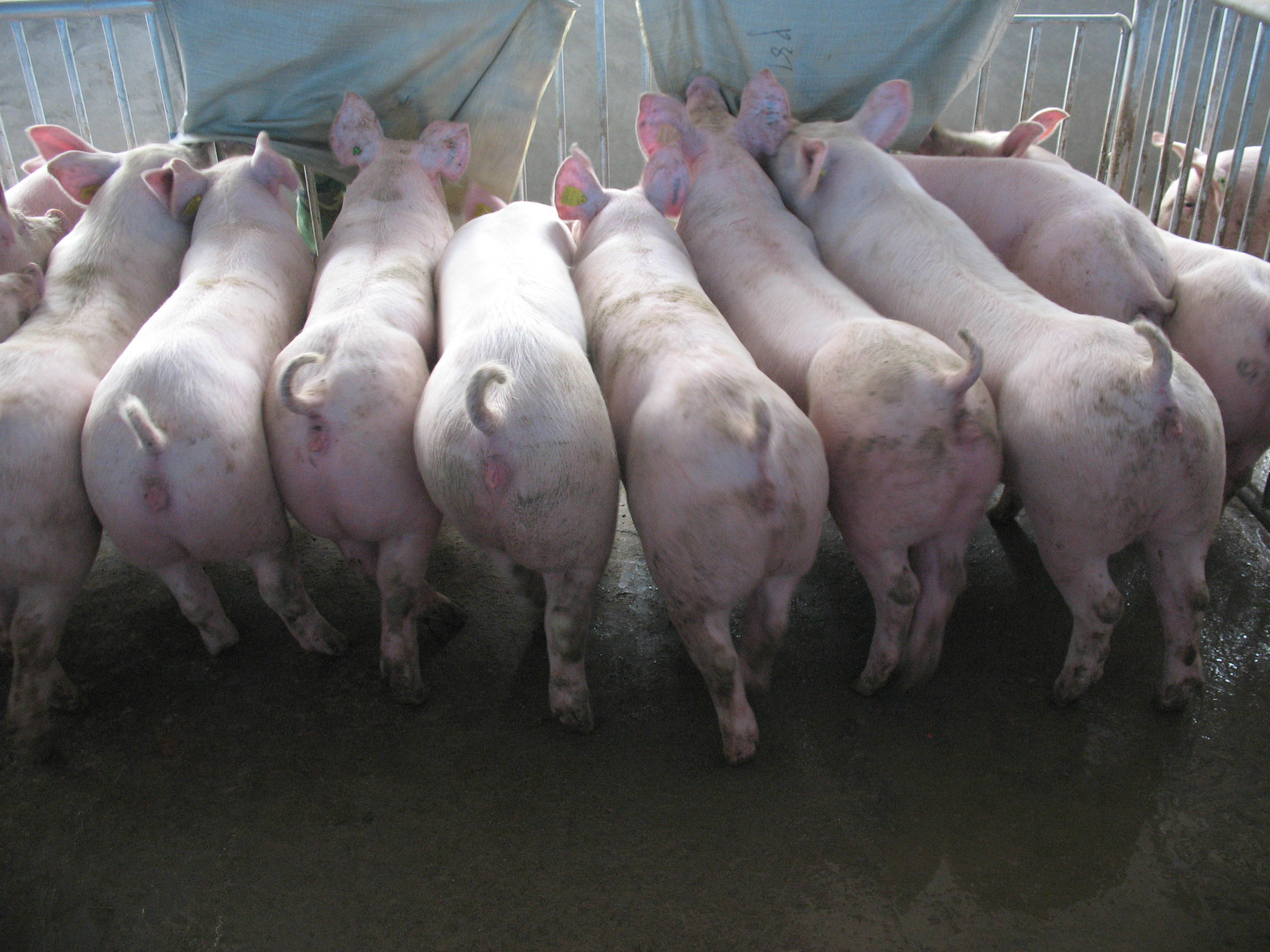 大體型新法系大白種豬.JPG